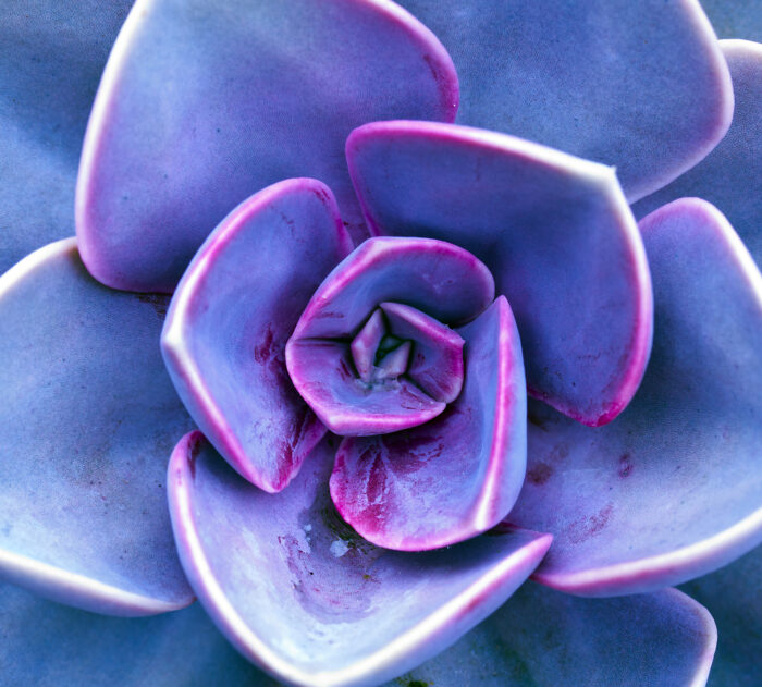 Purple Succulent Photo